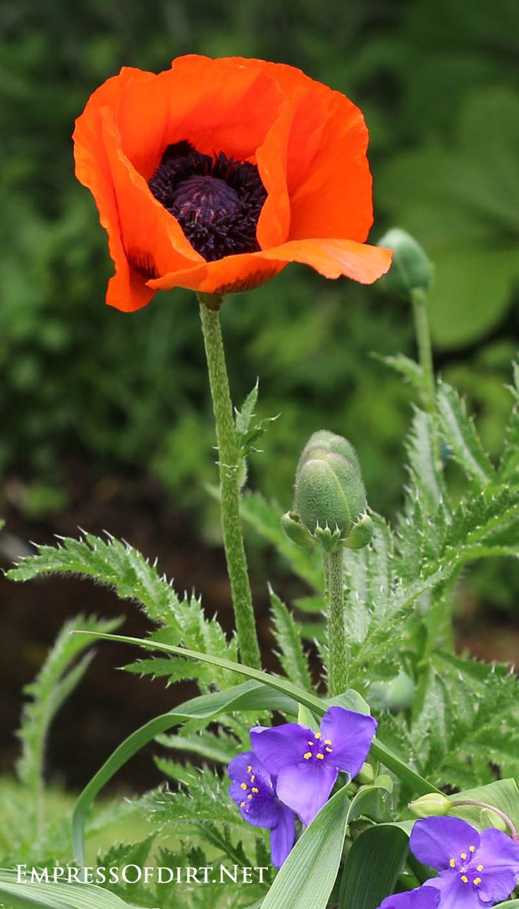 best 25 growing poppies ideas on pinterest how to landscape