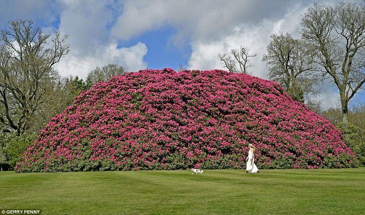 Flower power: The 'Old Cornish Red' - a giant rhododendron - planted 120 years ago by a Victorian explorer is Britain's widest single stemmed rhododendron and attracts visitors from around the world. Normally rhododendrons, which were introduced to the UK from the Alps in the 18th century, only grow between three and six feet high