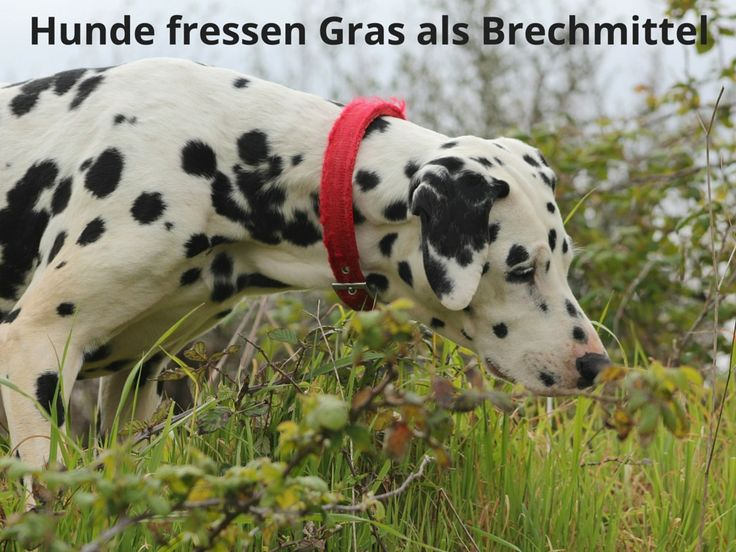 Hunde fressen Gras als Brechmittel