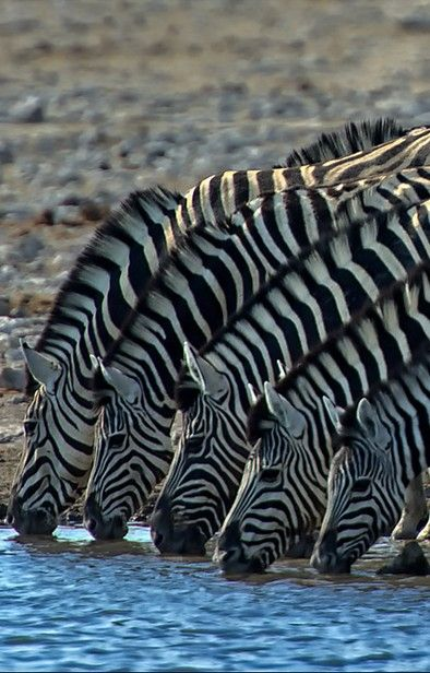 Zebras drinking...great contrast of color!