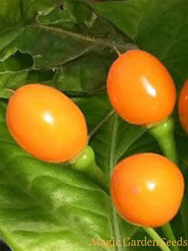 Die Früchte der Wildchili 'Pingo De Ouro' (Capsicum chinense) sind extrem scharf.