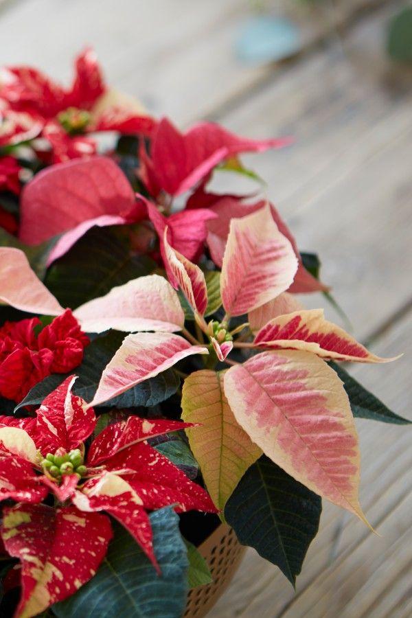 Pflege Von Weihnachtsstern