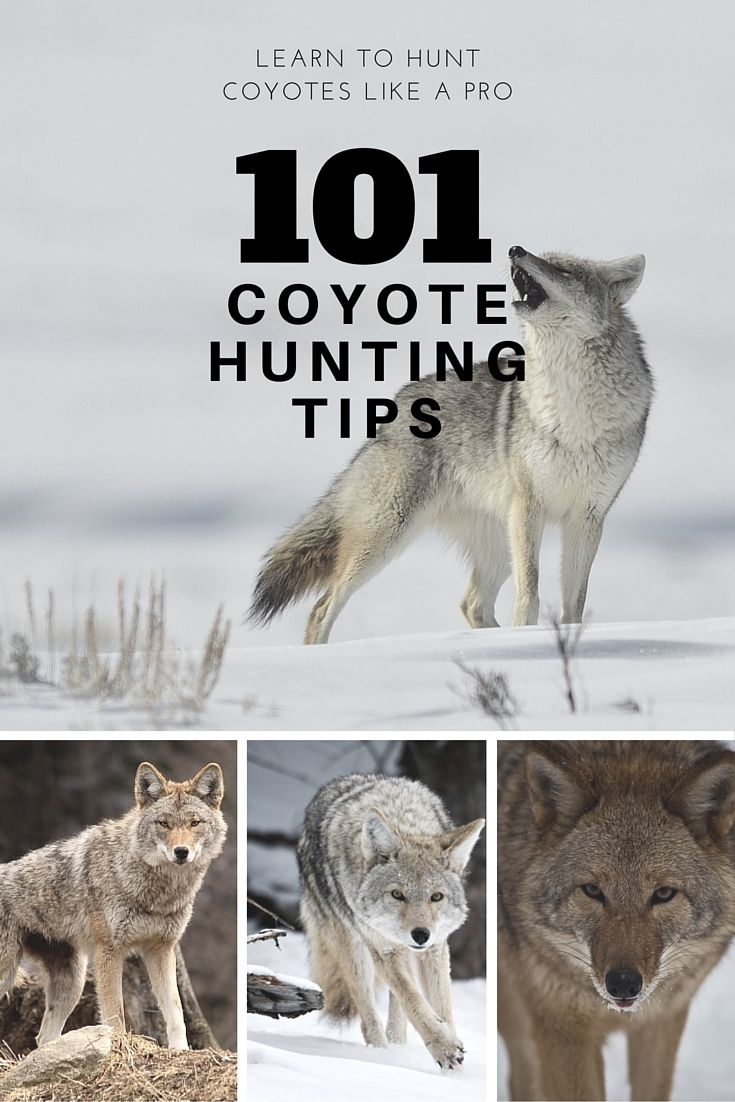 Be taught to hunt Coyotes like the professionals with 101 coyote searching ideas from a professi…
