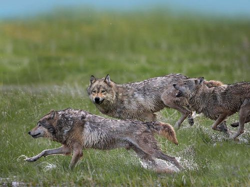 WOLVES, By TimFitzharris