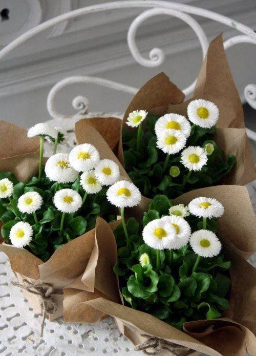 """the Gift of Spring .. daisies """"pompon,"""" which symbolize the arrival of spring .. wrapped in brown paper"""