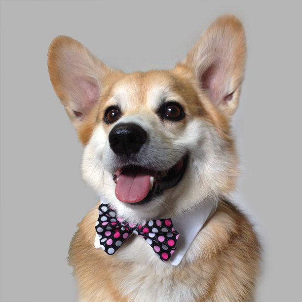 Great Necktie Bow Adorable Dog - a788b3604ba2379d493b51e1f9b2e99f--dog-bowtie-bowties  Pictures_949617  .jpg