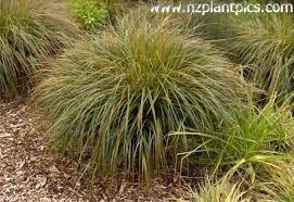 nz native grasses - Google Search