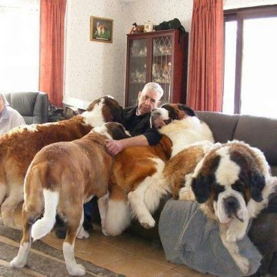 Hah!!!.......and i thought German Shepherds were the biggest thing to want to be lap/couch dogs. This guy must have been crushed to death.