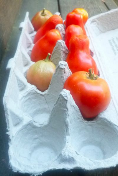 As temperatures cool down in the fall and you know that the tomatoes set on your plants will not ripen, it is time to pick them green and either cook them green or let them ripen off the vine. We used to ripen tomatoes on our window sill and are here to report that's a […]