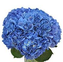 Hydrangea, Shocking Blue (30 Stems)