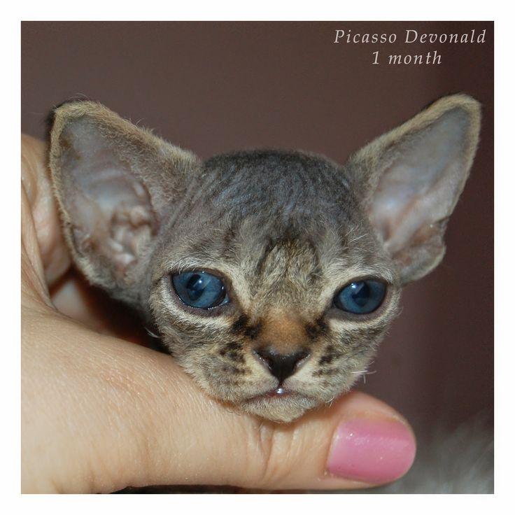 Питомник девон рексов DEVONLAND: Котятам помета P  сегодня 1 месяц. Picasso Devonla...