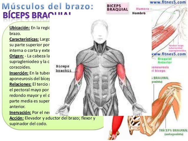 Mejores 16 imágenes de Músculos del miembro superior en Pinterest ...