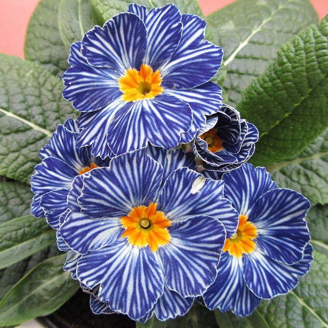 Denim blue primroses