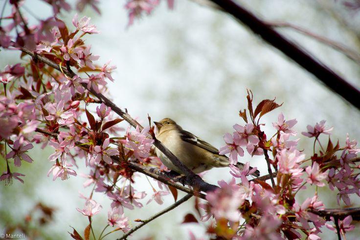 Roihuvuori cherry tree park