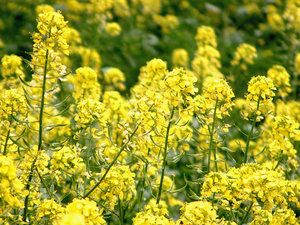 "Who is to be held accountable? ""Genetically Modified #Canola 'Escapes' Farm Fields""   #gmos"