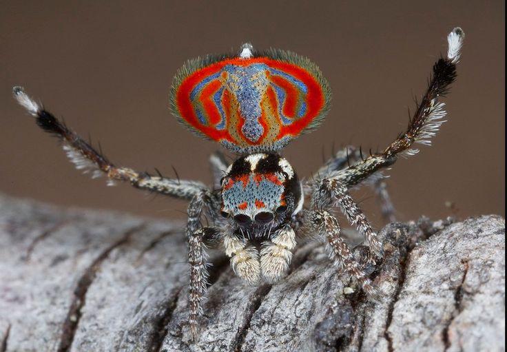 El género más común de la familia de las Deinopidae es el Deinopis. Estas criaturas son conocidas como arañas cara de ogro precisamente porque presentan unos grandes ojos que recuerdan a esta criatura mitológica. Las arañas cara de ogro o arañas gladiadoras se encuentran en todas las regiones tropicales y subtropicales del mundo, sobre todo en Sudamérica, África y Oceanía principalmente. Miden unos 2 centímetros y tienen fundamentalmente hábitos nocturnos. Sus llamativos ojosles sirven para…
