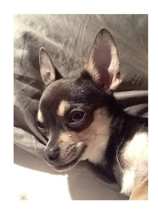 Chihuahua - Lila ♡ with the Mona Lisa smile!