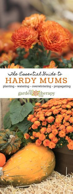 This guide will show you how to grow and care for hardy mums. Hardy Mums, Chrysanthemums, or Fall Mums are everywhere in the fall: garden centers, grocery stores, and seemingly everyone in the neighborhood's front porch. These vibrant autumn bloomers are easy to care for and come in a ton of different colors and sizes, making them a great choice for any garden or fallplanter project. See how to care for them once you get them home!