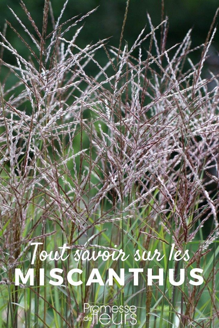 Les Plus Belles Graminées miscanthus : planter, cultiver et entretenir | cultiver