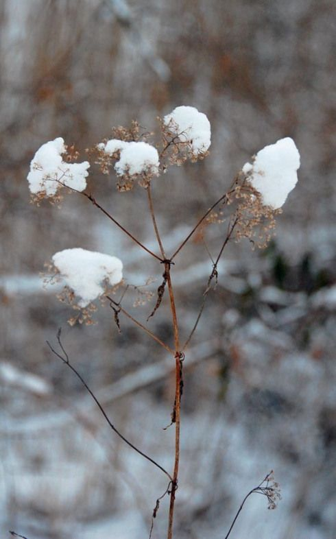 Snow Caps On Weeds Wild Flowers And Pinterest