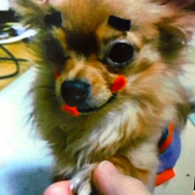 💄💋💛 . おはよー☀︎ おめかししてどちらまで?💋💄 妹に遊ばれるティンバ😂🐾💓 . 画質の悪さ😂😂😂 . . #dogstagram #dog #pet #cute #chihuahua #チワワ #いぬすたぐらむ #ロンチー #化粧 #おめかし #可愛い可愛い可愛い #愛犬 #弱愛 #犬なしでは生きて行けません #follow #さあどこへ行こうか?😊