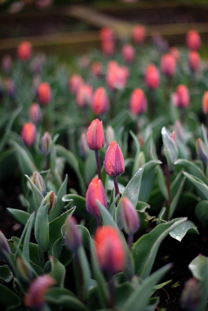 Tulipa 'Princess Irene' I Victoria Skoglund