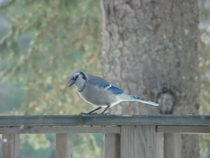 Blue Jays on wrap around deck, great view for morning coffee. pinned by girlfriendgetaway.ca