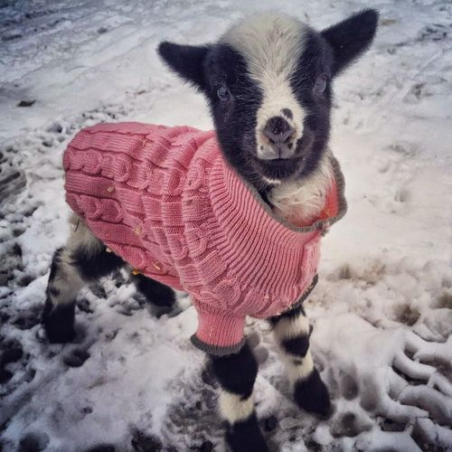 baby goat in a sweater!