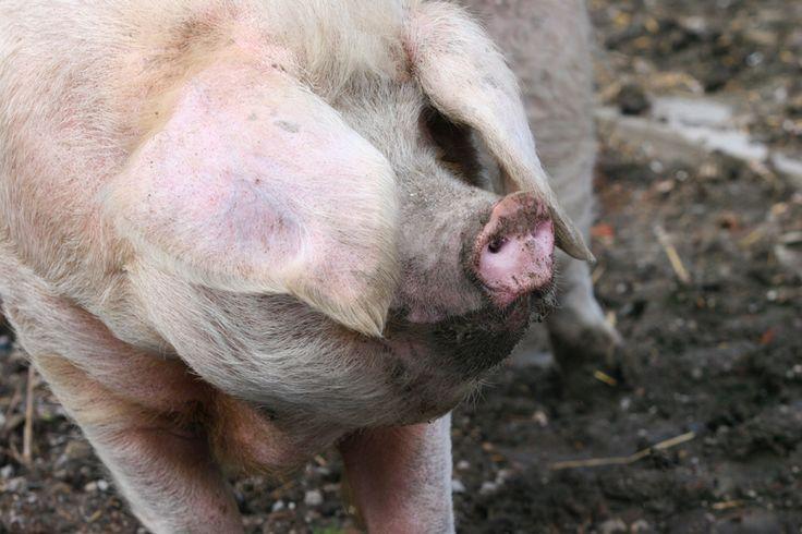 Verzoek Denemarken en Noorwegen te stoppen met het martelen van dieren tijdens militaire traumatrainingen | Kom in actie | PETA.nl - 1