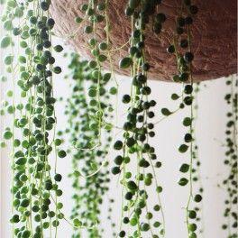 Séneçon de Rowley / Plante collier de perles
