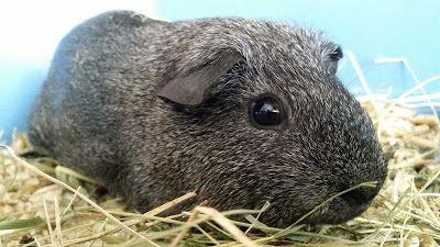 APAEC (Asociación Protectora de Animales Exóticos de Cataluña): BRUCE, COBAYA EN ADOPCIÓN