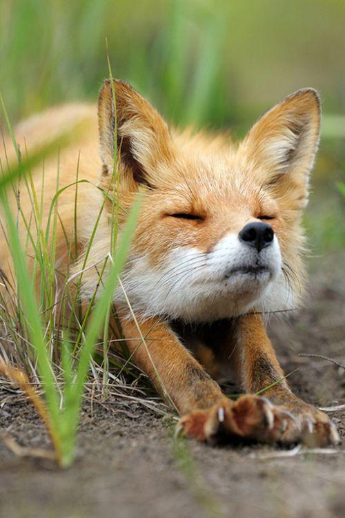 fox stretching <3