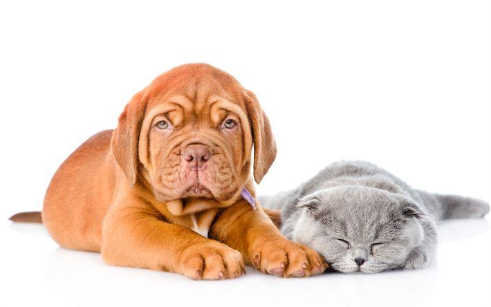 Download wallpapers 4k, Bordeaux mastiff, British Shorthair, puppy, kitten, sleeping cat, Dogue de Bordeaux, cats, pets, dogs, French mastiff, British Shorthair Cat