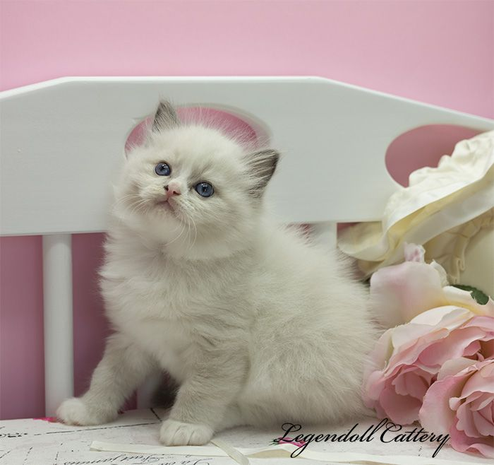 Ragdoll kitten Blue mitted male Avaiable
