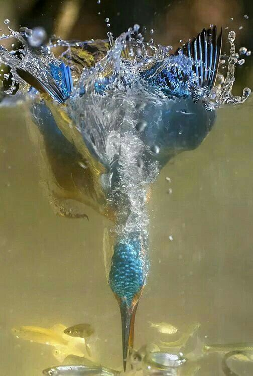 Diving Kingfisher.