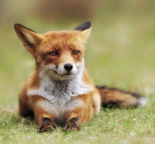 Red Fox by Victor Carpentier
