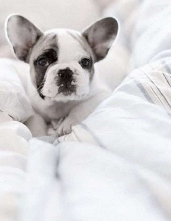 Good Morning America French Bulldog : Best personal dogs images on pinterest adorable