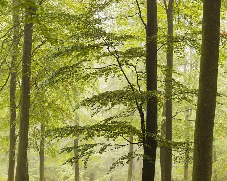 Beech Forest in Torup, Sweden II, Europe