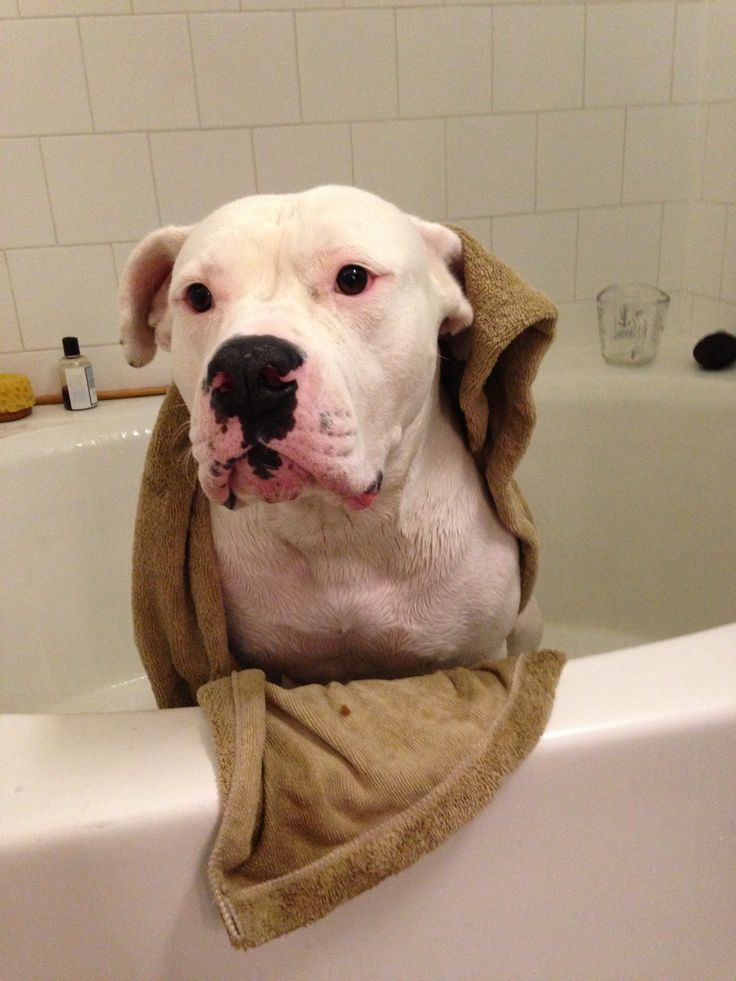 17 best ideas about american bulldogs on pinterest