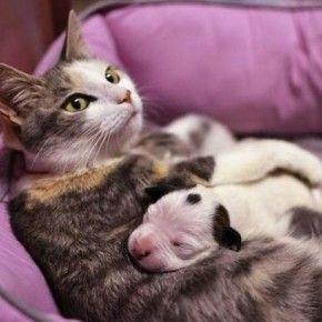 E' una gatta ad occuparsi di un cucciolo orfano di pitbull, portato in un rifugio per animali a Cleveland (Usa) a solo un giorno d'età.