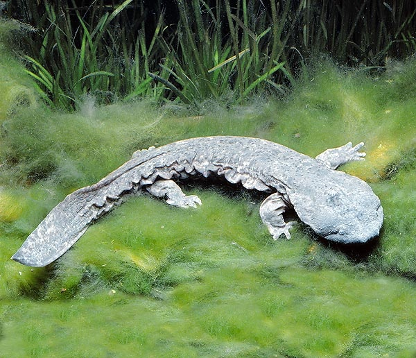 The Japanese giant salamander (Andrias japonicus), endemic to Japan, is the second largest salamander in the world (up to 1.5 m or 5 ft), only being surpassed by the very similar and closely related Chinese giant salamander (A. davidianus)