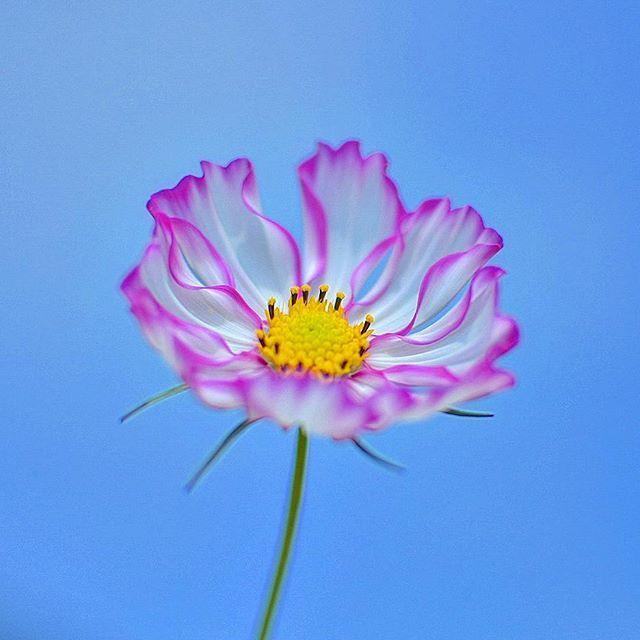 翠波高原のコスモス畑で白地に周りがピンクのコスモスを見つけました🌸  #コスモス#花#翠波高原#松山市#flower#flowers#単焦点レンズ#ザ花部#はなまっぷ#花フレンド#花好きな人と繋がりたい#ファインダー越しの私の世界#d7200#team_jp_flower#instagood#flowerstagram#instaflower#wp_flower#flower_special_#japan_daytime_view#bestflowerspics#whim_fluffy#japan_camera#florecitas_mx#ptk_flowers#igworldglobal#total_flowers#fabulous_shots#world_bestnature#flipping_flowers