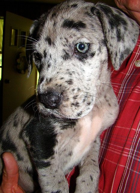 great dane puppy looks like max!