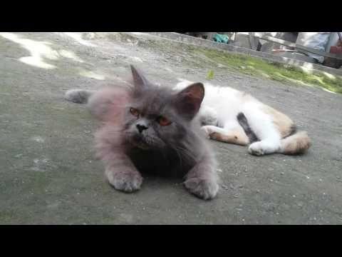 Kucing betina mupeng pengen ML at http://youtu.be/xiZBX5hk_V0 Kucing betina pengem ML tapi yg jantan lagi males. Jadi dicuekin deh