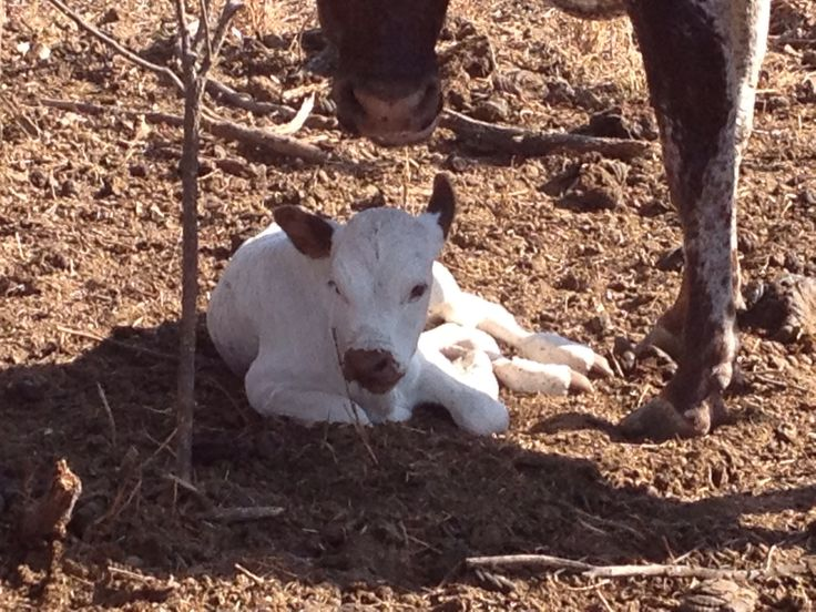 White calf with brown highlights