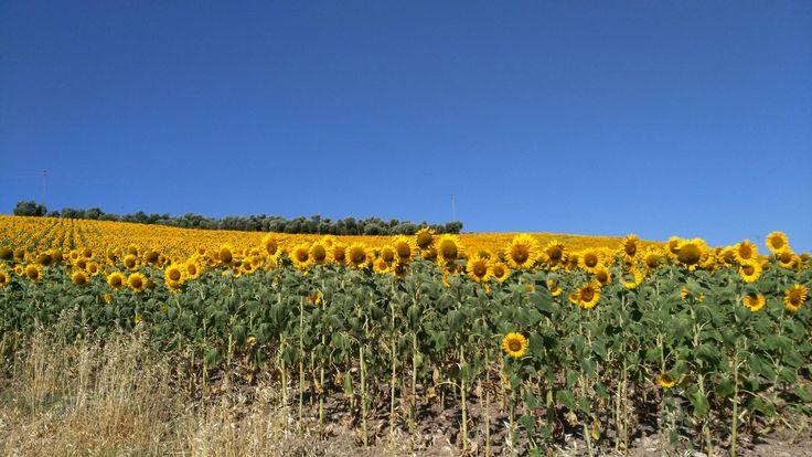 Campos de girasoles en Cadiz Una maravilla natural como la vida misma