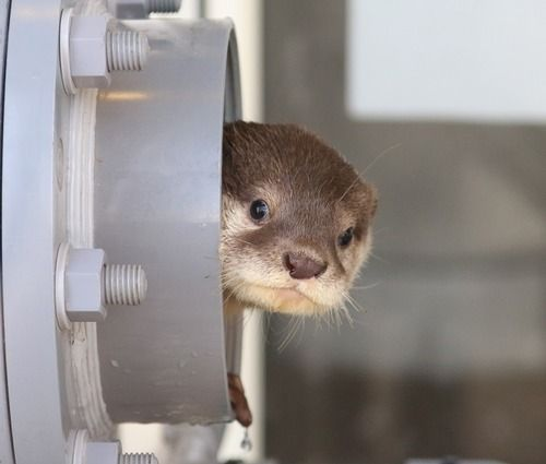 Otter peeks out to see if anyone is watching.
