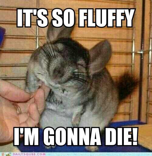 Fluffy Chinchilla