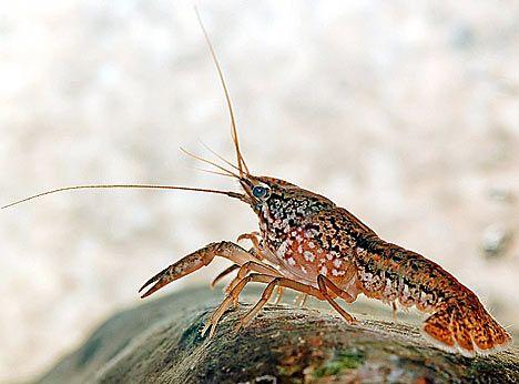 What Do Crayfish Eat? – The Care, Feeding and Breeding of Crayfish (Crawfish