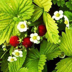 Název: Jahodník obecný Latin. název: Fragaria vesca Čeleď: růžovité Latin. čeleď: Rosaceae